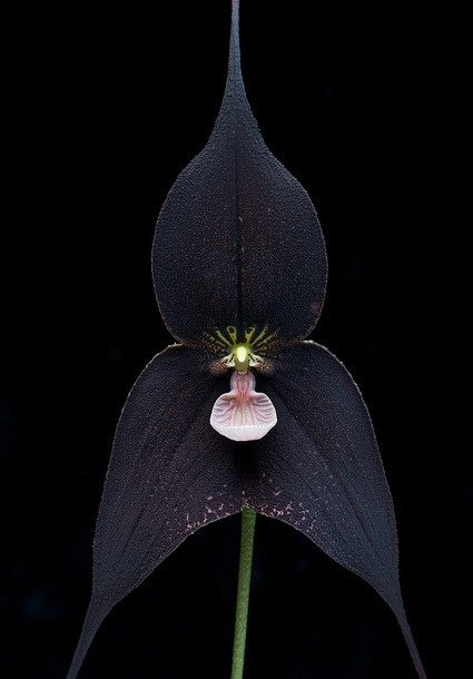 Black Orchid.