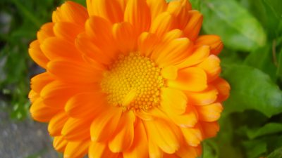 Calendula – Skincare by the nature!